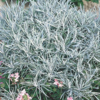 Icicle Plant, Silver Spike (Helichrysum thianschanicum)