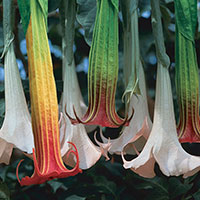 Datura, Angel's Trumpet Flower (Datura species)