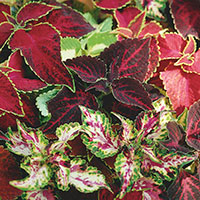 Coleus, Painted Nettle (Solenostemon)