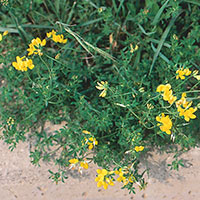 Double Bird's Foot Trefoil (Lotus corniculatus)