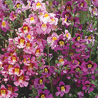 Schizanthus, Butterfly Flower, Poor Man's Orchid (Schizanthus)