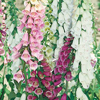 Common Foxglove (Digitalis purpurea)