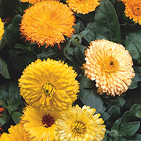 Calendula, English Marigold, Pot Marigold (Calendula officinalis)