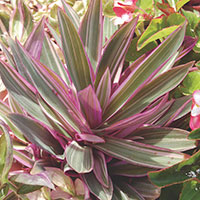 Oyster Plant, Moses-In-The-Cradle (Rhoeo discolor)