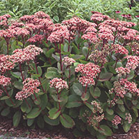 Upright Sedum (Sedum species)