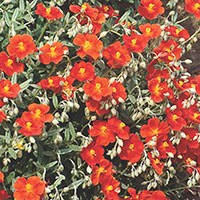 Sun Rose (Helianthemum Hybrid)