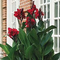 Canna Lily (Canna x generalis)