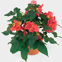 Flowering Maple Indoors (Abutilon hybrid)