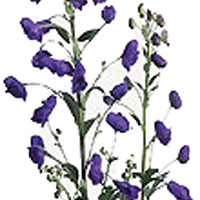 Monkshood (Aconitum species)