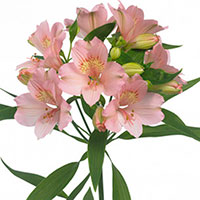 Peruvian Lily, Lily of the Incas (Alstroemeria species)