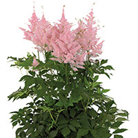 Astilbe Indoors (Astilbe species)