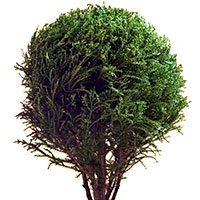 Cypress Ball (Cupressus species)
