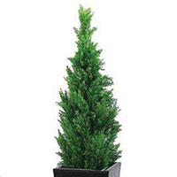 Cypress Indoors (Cupressus species)