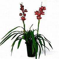 Miniature Cymbidium Orchids (Cymbidium species)