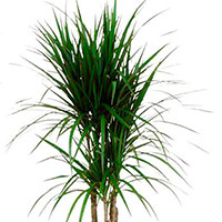 Dracaena, Spikes (Dracaena species)