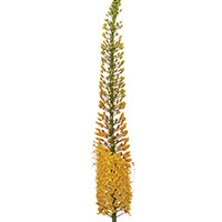 Eremurus (Eremurus species)
