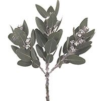 Silver Dollar (Eucalyptus species)