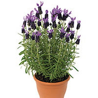 Lavender Indoors (Lavandula species)