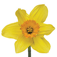 Daffodil (Narcissus species)