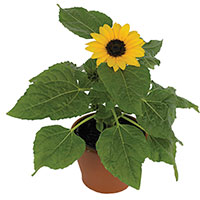 Sunflower Indoors (Helianthus annuus)