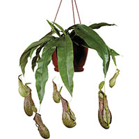 Nepenthes / Pitcher Plant (Nepenthes)
