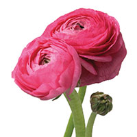 Ranunculus (Ranunculus species)