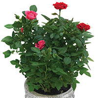 Miniature Rose Indoors (Rosa hybrid)