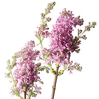 Lilac (Syringa species)