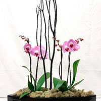 Phalaenopsis (mini) Orchids (Phalaenopsis species)
