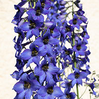 Larkspur (Delphinium species)