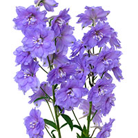 Delphinium (Delphinium species)