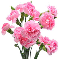 Dianthus (Dianthus species)