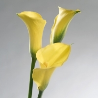 Calla Lily (Zantedeschia species)
