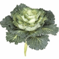 Cabbage (Ornamental) (Brassica oleracea)