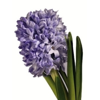 Hyacinth (Hyacinthus species)