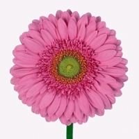 Gerbera (Mini) (Gerbera jamesonii)